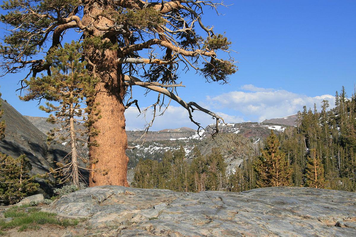 Sierra Nevada Upper Montane Forest Wikipedia