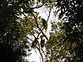 Bird Wreathed Hornbill Rhyticeros undulatus IMG 9195 (13).jpg