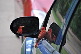 Bird and reflections, automobile window and mirror.jpg
