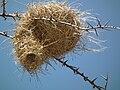 Birdnests in Tanzania 3633 Nevit.jpg