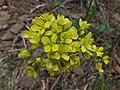 Biscutella laevigata laevigata flowers.jpg