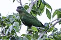 Black-billed Amazon (Amazona agilis) (8082122834).jpg