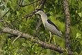 Black-crowned Night-Heron - Magee Marsh - Ohio 16052017-FJ0A7938 (24946714497).jpg