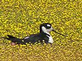 Black-necked Stilt nesting in flowers.jpg