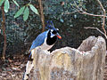 Black-throated Magpie-jay.jpg