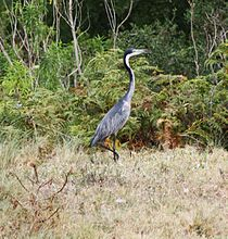 Black Headed Heron (11383734643).jpg