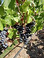 Black Stallion Winery, Napa Valley, California, USA (7664984162).jpg