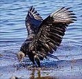 Black Vulture bathing at Myakka.jpg