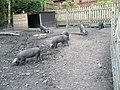 Black piglets within Blists Hill Open Air Museum - geograph.org.uk - 1461898.jpg