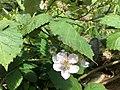 Blackberries on bushes 1 2016-06-29.jpg