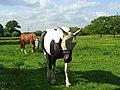 Blinkered horses, Hurst - geograph.org.uk - 813816.jpg