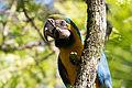 Blue-and-yellow Macaw - Guacamayo azul y amarillo (Ara ararauna) (15540199140) (2).jpg
