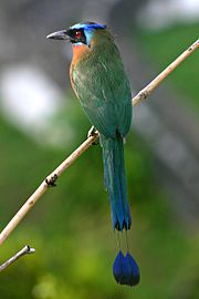Blue-crowned Motmot back fir0002