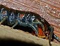 Blue-legged Centipede (Ethmostigmus trigonopodus) close-up (12681052124).jpg