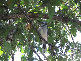 Blue Jay Perched in Oak Tree.JPG