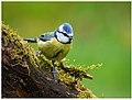 Blue Tit (44531507325).jpg