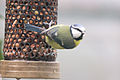Blue Tit - Feb 2010 (4377195282).jpg