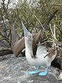 Blue footed booby courtship display.jpg