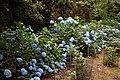 Blue hydrangea in the Woodland Garden at Goodnestone Park Kent England 2.jpg