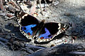 Blue pansy butterfly (Junonia orithya minagara) male Komodo I.jpg