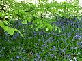 Bluebells & Beech 02 (3509408293).jpg