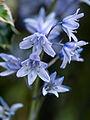 Bluebells (9071735710).jpg