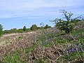 Bluebells among the Bracken - geograph.org.uk - 1299314.jpg