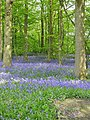 Bluebells in small wood next to the Stour Valley Walk - geograph.org.uk - 1280171.jpg