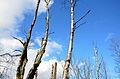 Bois-mort Castor fiber ArdennesHiver 0109.JPG