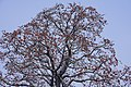 Bombax ceiba near Punjabi University, Patiala (13).jpg