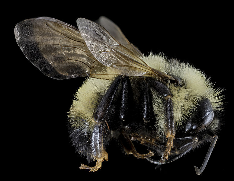Tập tin:Bombus citrinus, Male, Side, Cecil County, MD 2013-11-14-08.52.58 ZS PMax (14018610106).jpg