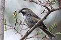 Boreal Chickadee (7458247740).jpg