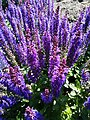 Botanical Garden in Poznan (Salvia nemorosa, Blauhugel) (2).jpg