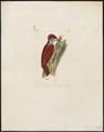 Brachypternus erythronotus - 1820-1860 - Print - Iconographia Zoologica - Special Collections University of Amsterdam - UBA01 IZ18700343.tif