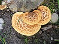 Bracket Fungi - geograph.org.uk - 896399.jpg