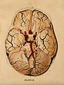 Brain; dissection showing the base of the brain. Watercolour Wellcome V0008415ER.jpg
