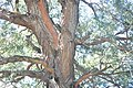 Branches and trunk of Eucalyptus macarthurii.jpg