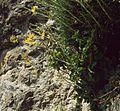 Brassica cretica aegaea 1.jpg