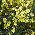 Brassica oleracea-IMG 9271.jpg