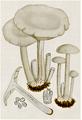 Bresadola - Clitocybe cerussata.png
