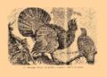 Brockhaus and Efron Encyclopedic Dictionary b33 074-0- 11 - Tetrao urogallus.png