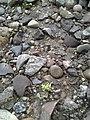 Broken rocks used to boil water in baskets Columbia River Washington.jpg