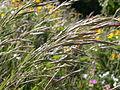 Bromus carinatus (3861052158).jpg