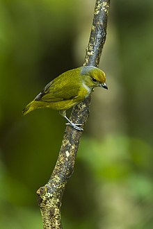 Bronze-green Euphonia - South Ecuador S4E0810 (23250387345).jpg