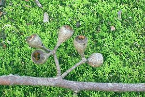 Eucalyptus fastigata - Paired gumnuts of the brown barrel