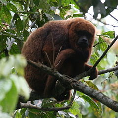 Brown Howler Monkey 4.jpg