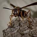 Brown Paper Wasp-27527-3.jpg