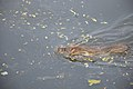 Brown Rat Swimming Across Santragachi Jheel - Howrah 2017-12-25 5625.JPG