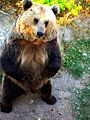Brown bear named Marko.jpg