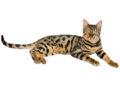 Brown spotted tabby bengal cat 2.png